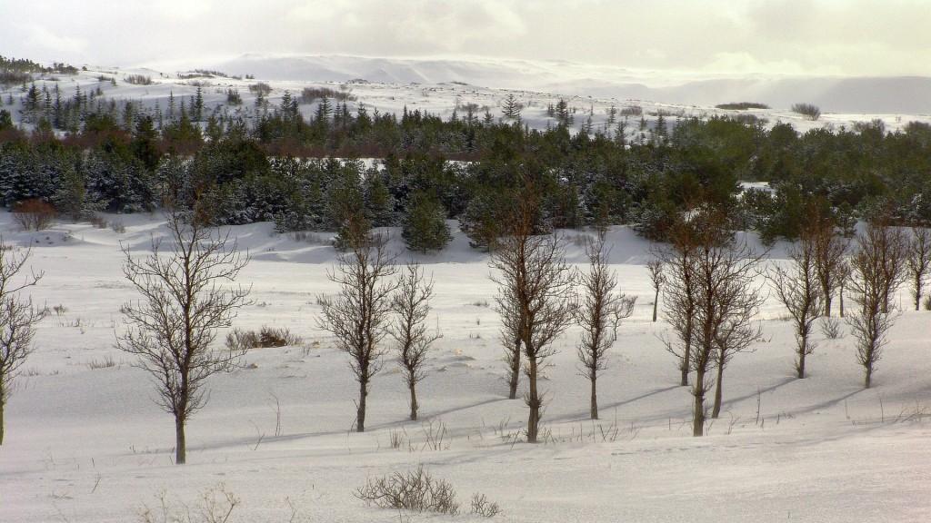 , Copyright © Ruslendingur,  Iceland, winter, Heiðmörk, trees;