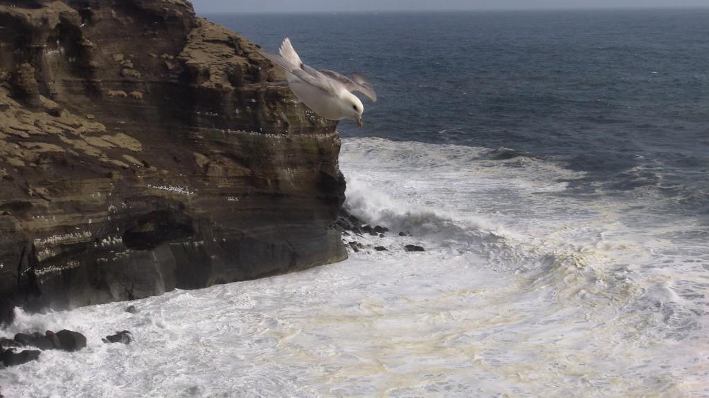 Iceland, ruslendingur, Haelsvik, seagull